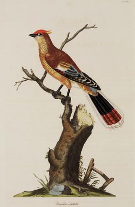 Crested cuckoo, 1776.