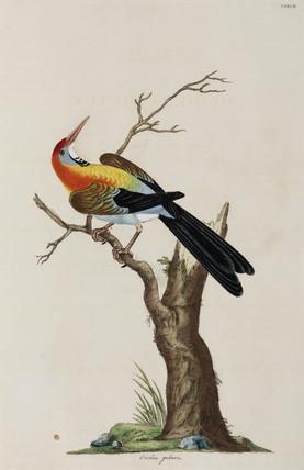 Oriole, 1776.
