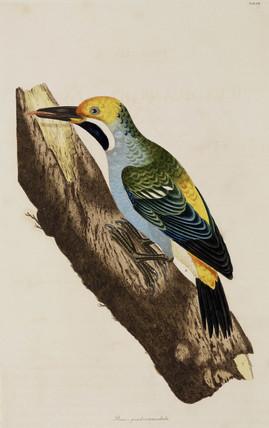 Woodpecker, 1776.