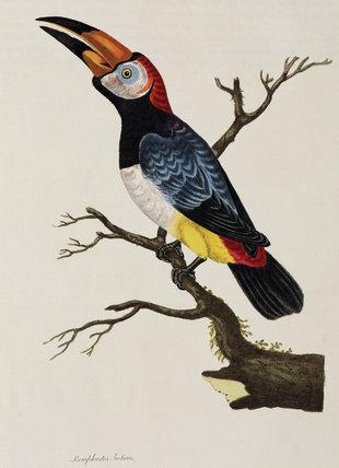 Toucan, 1776.