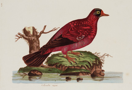 Red dove, 1776.