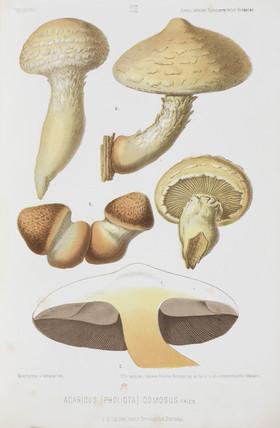 Mushrooms, (Pholiota destruens), c 1874.