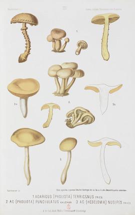 Agaric mushrooms, c 1874.
