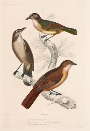 Types of shrike, 1837-1840.