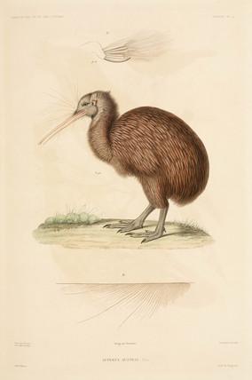 Kiwi, New Zealand, 1837-1840.