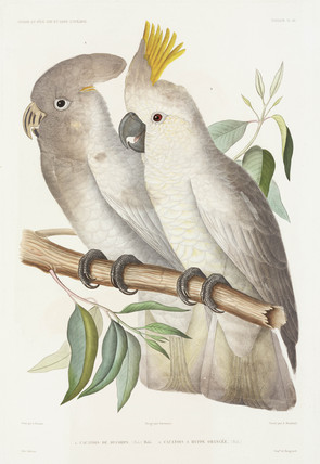 Cockatoos, 1837-1840.