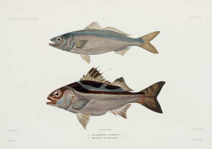 Two types of fish, 1837-1840.