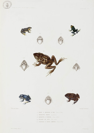 Five types of frog and toad, 1837-1840.