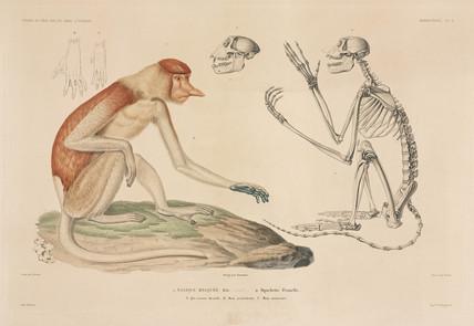 Proboscis monkey, Borneo, 1837-1840.