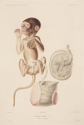 Proboscis monkey foetus, 1837-1840.