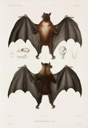 Flying fox, 1837-1840.