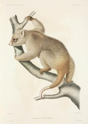 Cuscus, 1837-1840.