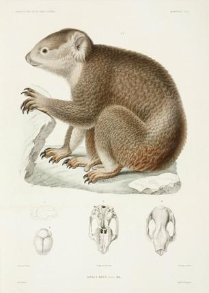 Brown koala, 1837-1840.