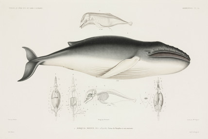 Dolphin foetus and gnarled whale, 1837-1840.