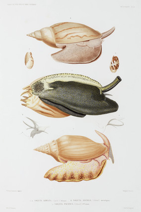 Three types of volutes or sea molluscs, 1837-1840.
