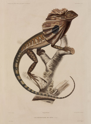 Frillneck lizard, 1837-1840.