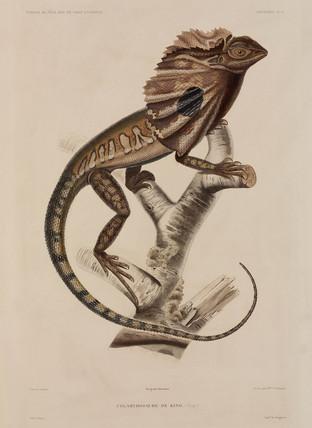 Frillneck lizard, 1837-1840.