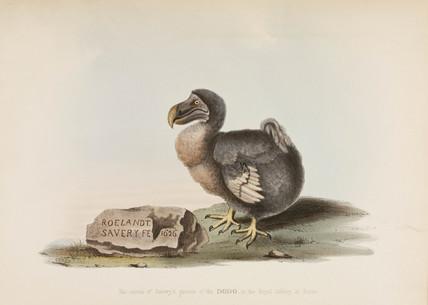 The Dodo, 1626.