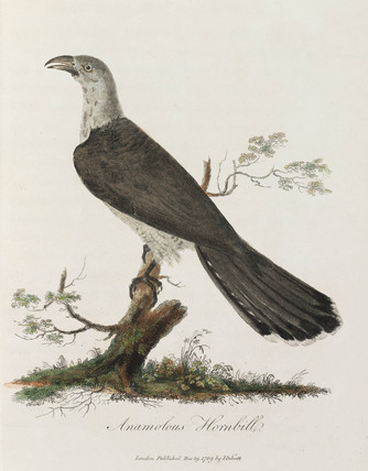 'Anamolous Hornbill', 1789.