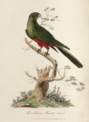 'The Tabuan Parrot', 1789.