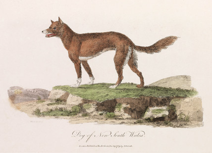 'Dog of New South Wales', 1789.