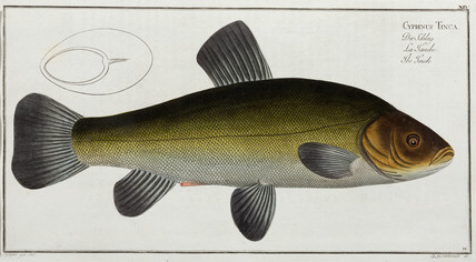 'The Tench', 1785-1788.