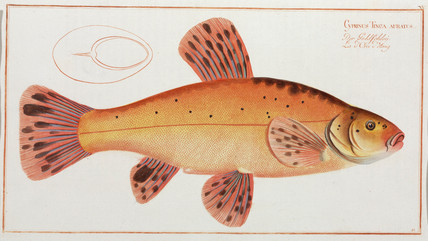Golden tench, 1785-1788.