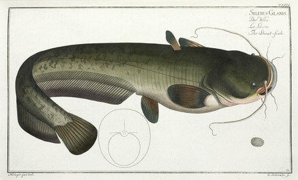 'The Sheat-fish', (catfish), 1785-1788.