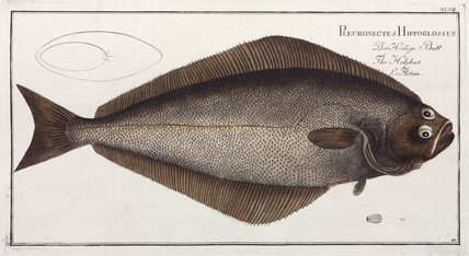 'The Holybut', (halibut), 1785-1788.