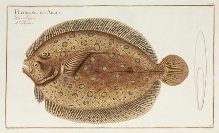 Peacock flounder, 1785-1788.