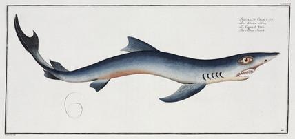 'The Blue Shark', 1785-1788.