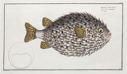 Spot-fin porcupinefish, 1785-1788.