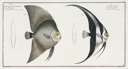 Orbiculate and Teira batfish, 1785-1788.