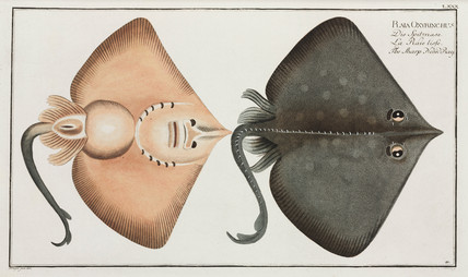 'The Sharp Nosed-Ray', 1785-1788.