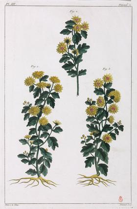 Medicinal plants, China, 1775-1781.