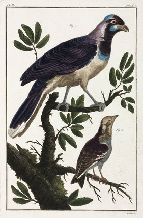Tropical birds, 1775-1781.