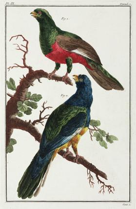 South American birds, 1775-1781.
