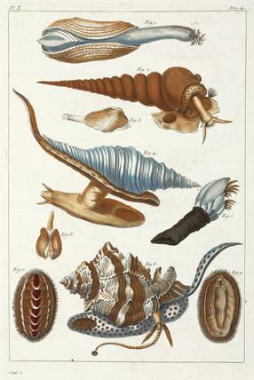 Sea creatures, 1775-1781.
