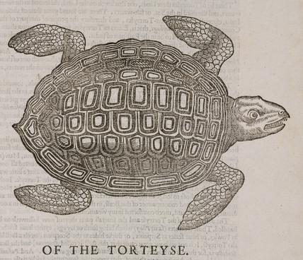 The tortoise, 1608.