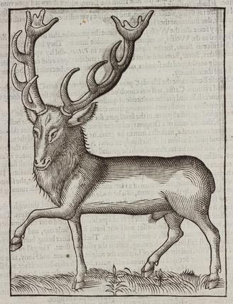 The 'Deer-goat', 1607.