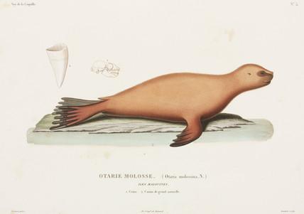 Sea lion, Falkland Islands, 1822-1825.
