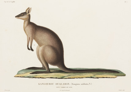 Kangaroo, New South Wales, Australia, 1822-1825.