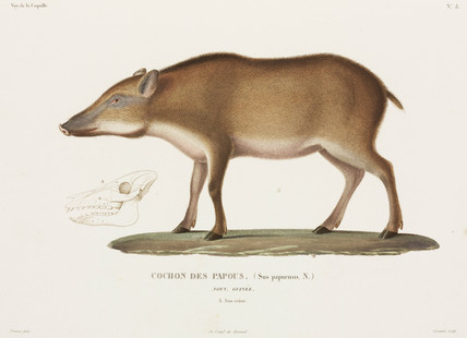 Papuan pig, New Guinea, 1822-1825.
