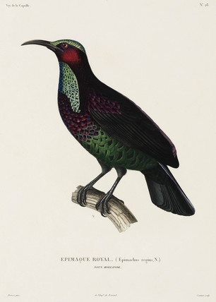 Royal Epimachus, New Holland, (Australia), 1822-1825.