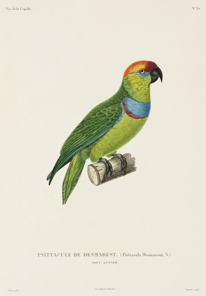 Desmarest's fig parrot, New Guinea, 1822-1825.