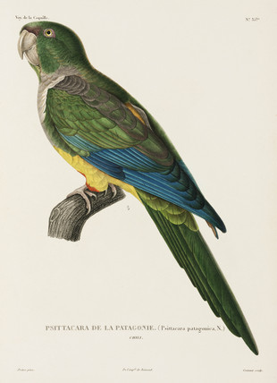 Patagonian parrot, Chile, 1822-1825.