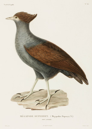 Duperrey's megapode, New Guinea, 1822-1825.