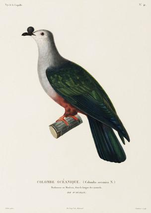 Oceanic dove, Island of Ualan, (Micronesia), 1822-1825.