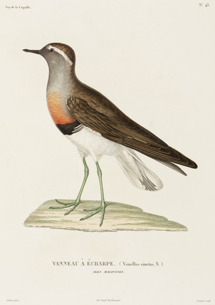 Collared plover, Falkland Islands, 1822-1825.