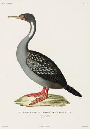 Gaimard's cormorant, Lima, Peru, 1822-1825.